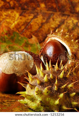horse chestnut / conkers arranged on autumn leaves