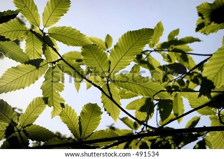 Horse Chestnut leaves in the blue sky