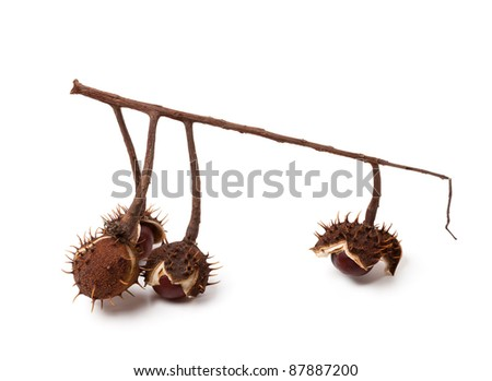 Horse-chestnuts inside dry peel on branch. Isolated on white background