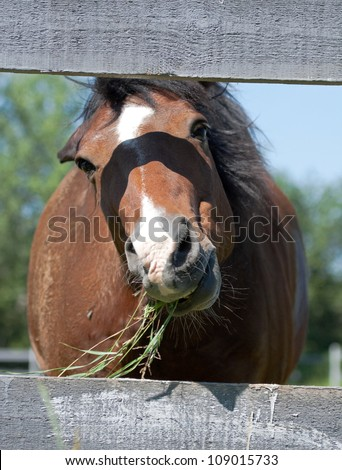 Horse chewing grass