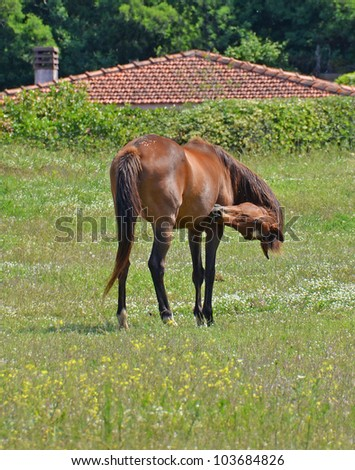 horse cleaning oneself in the country background