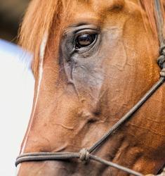 Horse close portrait, eye detail.