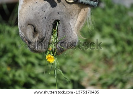 Horse eating dandelion
