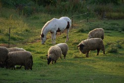 Horse eating grass with Sheep in the barnyard with sun shining on their backs
