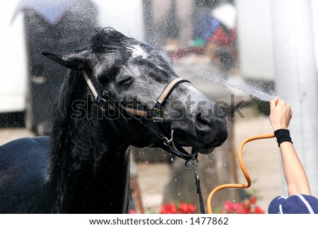 Horse enjoying the shower on a hot summer day