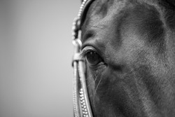 Horse eye close up black and white, frontal