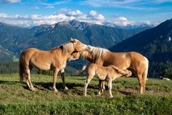 Horse Family in Italian Dolomites