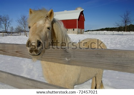 Horse Farm in Winter:  A white pony peers over the fence from a snowy barnyard.