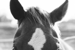 Horse forelock close up in black and white, rustic ranch concept.