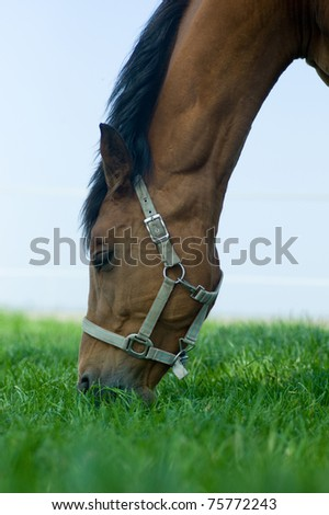 Horse grazing and chewing on grass - stock photo