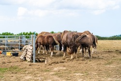 Horse grazing and family farming in France Brittany region. Animal farm, horse breeding and animal husbandry in northern europe in france in Bretagne. Herd of horses in a pasture on a farm.