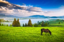 Horse grazing in a meadow Ukrainian Carpathian mountain valley. Early misty morning