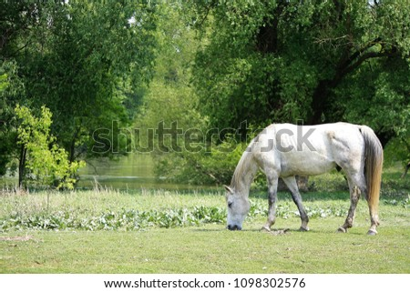 Horse grazing on the banks of the river Vág, Southern-Slovakia, once used to belong to Hungary Stock fotó ©