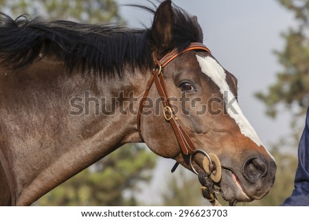 Horse Head\ Horse stallion closeup head portrait of animal