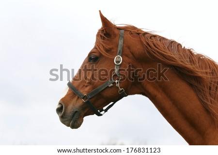 Horse head portrait. Beautiful horse headshot