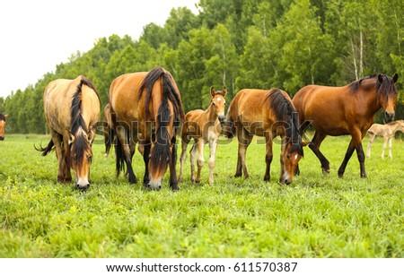 Horse herd in field, mare and foal grazing in horse farm #611570387