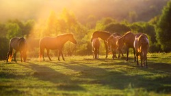 Horse herd in motion at sunset light on summer pasture