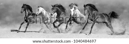 Horse herd run in desert fast. Black and white
