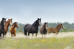 Horse herd with cute foal grazing on pasture