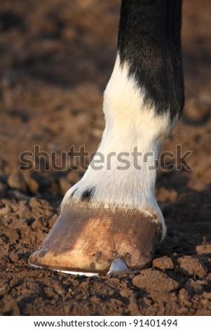 Horse hoof with horseshoe close up - stock photo