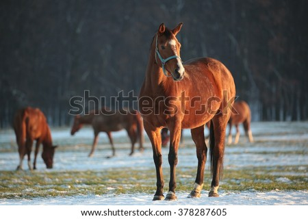 Horse in a snowy pasture at dusk.