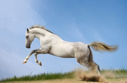 horse in nature and outside, white horse