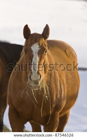 Horse in Winter eating hay Saskatchewan Canada Freezing Cold