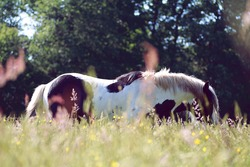 Horse Irish cob in a flowery meadow, black and white horse, peaceful, quietness