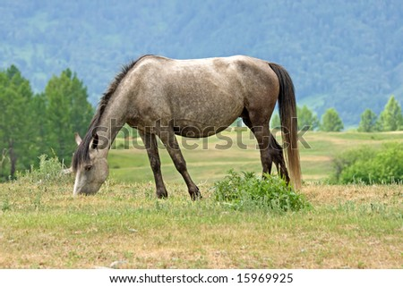 horse is eating on mountains meadow
