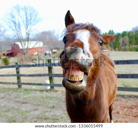 Horse Laughing in Front of Red Barn #1336015499