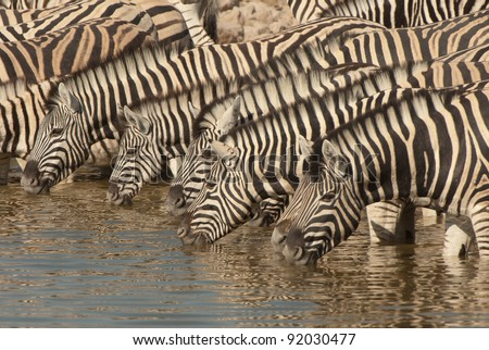 Horse-like; black and white stripes with shadow stripes superimposed on white stripes; stripes extend on to under parts; lacks dewlap on throat; prominent mane; herds animal; grassy savannas; grazer.