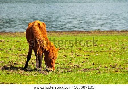 Horse livestock roaming free at Shudu Lake of Pudacuo National Park at Shangri-la, Yunnan China.