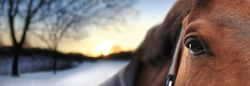 Horse looking straight forward, close up. On background wintry night landscape. Winter scene at beautiful sunset time. Soft focus. Concept for banner, website, poster, horseback riding outdoors.