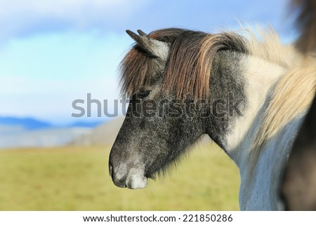 horse love, alone on the meadow, Iceland