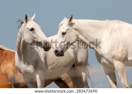 Horse Love Between Two Horses