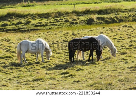 horse love, black and white on the meadow, Iceland