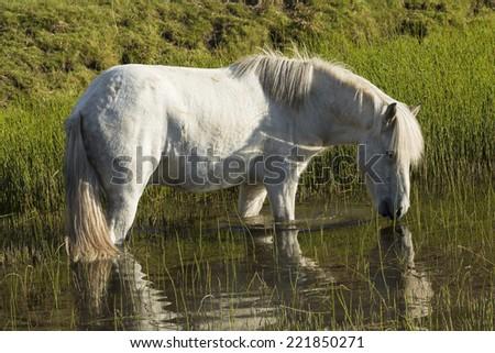 horse love, white horse on the lake, Iceland