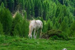 Horse on a mountain pasture. Val Rosalia, Dolomites, Italy.