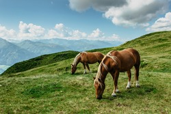 Horse on a pasture with a great view of the mountains. Brown stallion roaming free in summer Alpine meadow. Herd of horses in green rural countryside. Mammal farm animals.