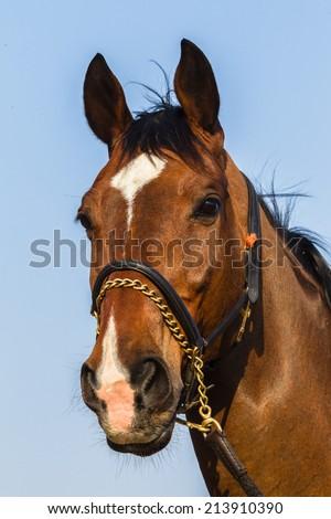 Horse Portrait Closeup Horse mature male animal closeup portrait
