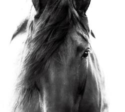 horse portrait equine wall art fine art equine