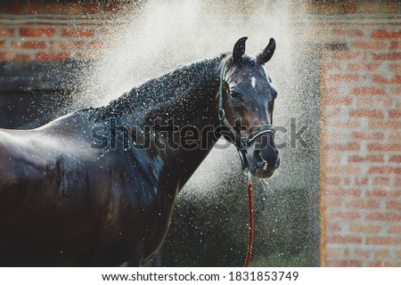 Horse portrait in spray of water. Horse shower at the stable Photo stock ©