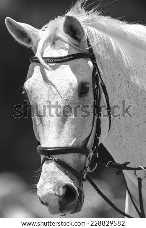Horse Portrait White Black White horse head portrait of animal in black and white vintage tone