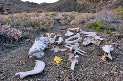 Horse remains after attack by wolves; the problem of wolves attacking domestic animals