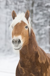 Horse Running Free In The Snow