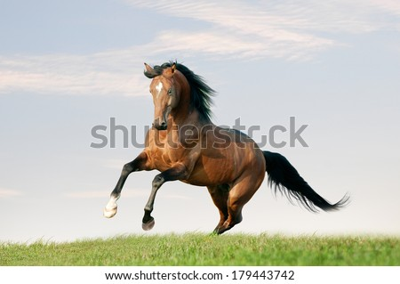 horse runs free in the field