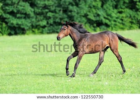 Horse runs gallop on the field - stock photo