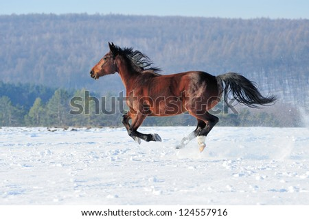 Horse runs gallop on the winter field