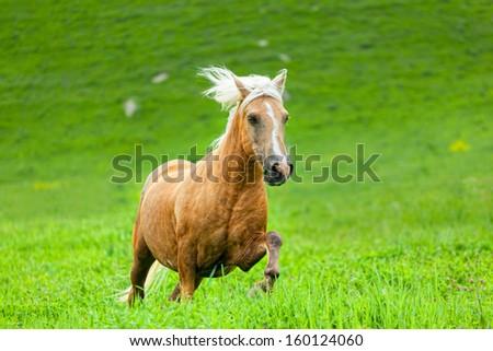 Horse runs on a green summer meadow