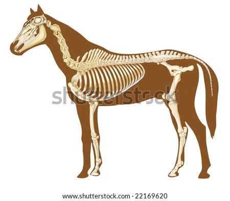 horse skeleton section with bones x-ray